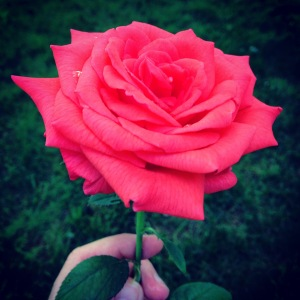 A rose from our garden!